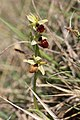 Early Spider Orchid - Ophrys sphegodes - panoramio (24).jpg