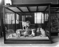East African Lion Exhibit, National Museum of Natural History, Image ID NHB-24881.tif