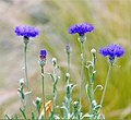 Easy Happy Cornflowers (257439627).jpeg