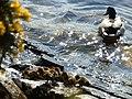 Eccup Ducks - panoramio.jpg