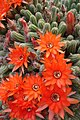 Echinopsis chamaecereus2.jpg