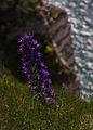 Echium vulgare Seine-Maritime.jpg