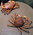 Edible crab and spiny spider crab.jpg