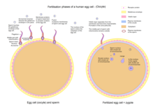 Egg cell fertilization - Zygote.png