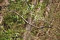 Eisvogel im Naturschutzgebiet Waldsiepen Hevener Straße – Im Lottental in Bochum.jpg