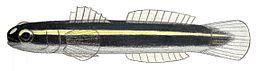 Elacatinus illecebrosum