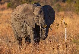 Elefante africano de sabana (Loxodonta africana), parque nacional Kruger, Sudáfrica, 2018-07-25, DD 06.jpg