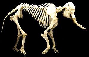 Allometry - Image: Elephant skeleton