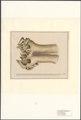 Elephas primigenius - schedel - 1788-1863 - Print - Iconographia Zoologica - Special Collections University of Amsterdam - UBA01 IZA1000540.tif