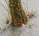 Els (Alnus) in ondergelopen grasland. Locatie, Natuurterrein De Famberhorst 01.jpg