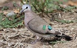 Emerald-spotted Wood Dove, Turtur chalcospilos in Kruger National Park (13877683603).jpg