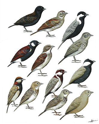 Montifringilla - Many sparrow-larks (Eremopterix) were once placed in a genus Pyrrhulauda, causing much confusion in the taxonomy of the unrelated snowfinches