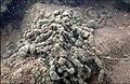 Encroutement algal ou bactérien sur restes de fil de pêche dans la Sèvre niortaise photo F Lamiot 08.jpg