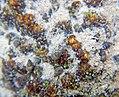 Encroutements bactériens et escargots dans la rivière Course, Beussent (62) mi-2017 a.jpg