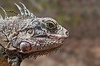 Endangered species Iguana Iguana from Margarita Island.jpg