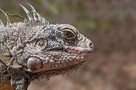 Endangered species Iguana Iguana from Margarita Island.jpg