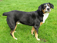 This Entlebucher Sennenhund is of typical Molosser build.