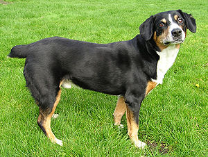 "Swiss mountain dog - An Entlebucher Sennenhund (Entlebucher Mountain Dog), one of the Sennenhund (""Swiss mountain dog"") breeds, showing the type's heavy build and distinctive coloration"