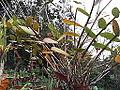 Epidendrum radicans-plant-yercaud-salem-India.JPG