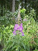 EpilobiumAngustifolium-plant-kl.jpg