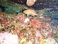 Epinephelides armatus P1021158.JPG