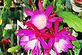 Epiphyllum Punch Bowl.JPG
