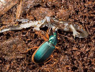 <i>Epomis</i> Genus of beetles