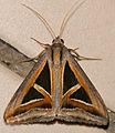 Erebid Moth (Trigonodes hyppasia) (23299132514).jpg