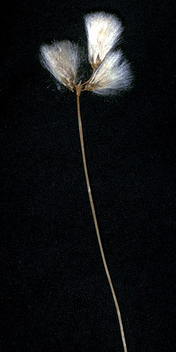 Eriophorum gracile NRCS-1.jpg