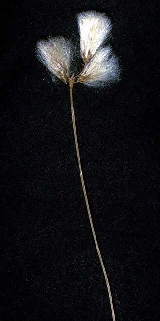Eriophorum gracile - Image: Eriophorum gracile NRCS 1