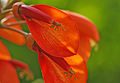 Erythrina crista-galli - Cockspur 02.jpg
