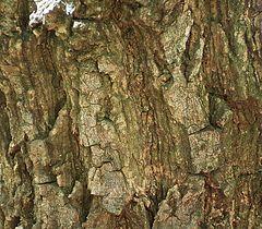 Erythrina crista-galli 01 ies.jpg