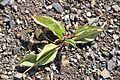 Erythronium dens-canis in Jardin Botanique de l'Aubrac.jpg