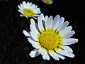 Estrella española - Chrysanthemum coronarium (9529916092).jpg