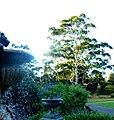 Eucalyptus Grandis - panoramio.jpg