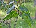 Eucalyptus cypellocarpa 02.jpg