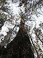 Eucalyptus regnans Sherbrooke.jpg