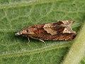 Eucosma conterminana - Lettuce tortricid - Листовёртка салатовая (26406550177).jpg