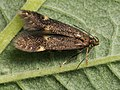 Eulamprotes atrella - Two-spotted neb (26029199957).jpg