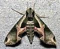 Eumorpha pandorusPCCA20040716-3450B.jpg