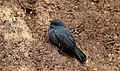 Eumyias albicaudatus-Nilgiri flycatcher.jpg