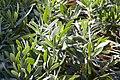 Euphorbia characias wulfenii 0zz.jpg