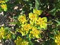Euphorbia epithymoides02.jpg