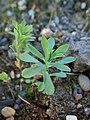 Euphorbia esula kz01.jpg