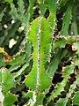 Euphorbia grandialata Wilczomlecz 2014-10-12 03.jpg