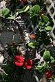 Euphorbia milii 14zz.jpg