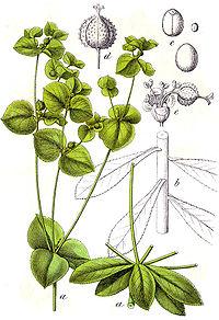 Euphorbia platyphyllos Sturm27