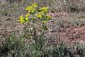 Euphorbia serrata (15298384180).jpg