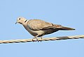 Eurasian Collared Dove Streptopelia decaocto by Dr. Raju Kasambe DSCN2357 (3).jpg