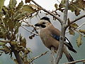 Eurasian Jay 02.jpg